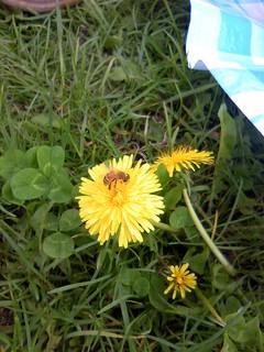 ミツバチかな.JPG